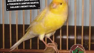 Gambar cover PANCINGAN KENARI MALES BUNYI JADI GACOR # TERBUKTI AMPUH HANYA 5 MENIT SAJA
