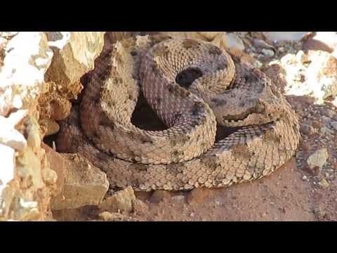 Mojave Desert Sidewinder Rattlesnake
