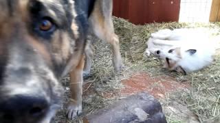Лисички играют с собакой.