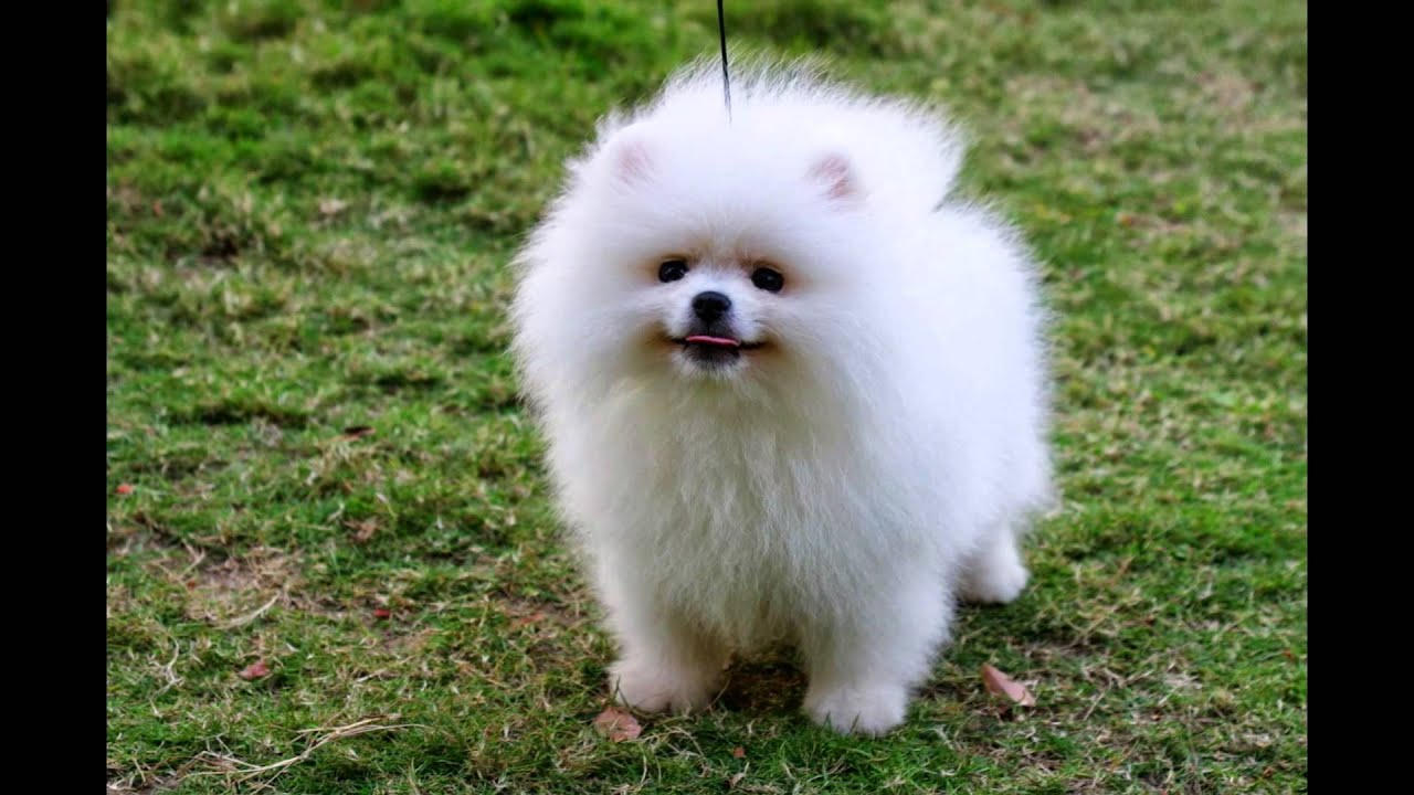 Beautiful German Spitz Canine Adorable Dog - maxresdefault  Snapshot_418812  .jpg