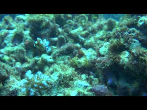チョウチョウコショウダイ幼魚/Plectorhinchus chaetodonoides/Harlequin sweetlips jp
