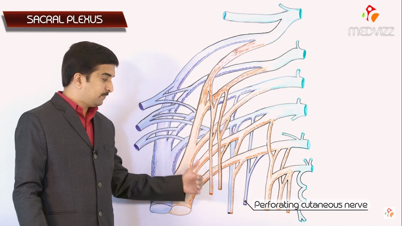 THE SACRAL PLEXUS - Gross anatomy medical animation - Dr G Bhanu ...