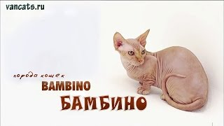 Бамбино кошка. Порода кошек Бамбино (Bambino Cat)