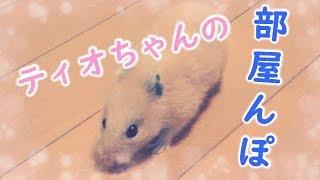 【ハムスター】ティオちゃんの部屋んぽ♪#70 thumbnail