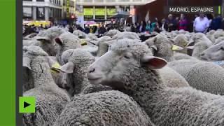 Défilé de moutons à Madrid en souvenir de la transhumance