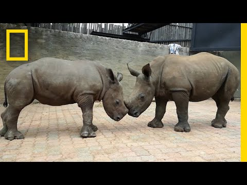 Orphaned By Poachers, a Baby Rhino Makes a New Friend | National Geographic