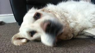 Golden Retriever Oska Having Partial Seizure