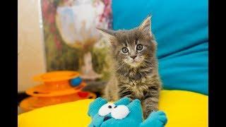 Котенок мейн-кун и телефон