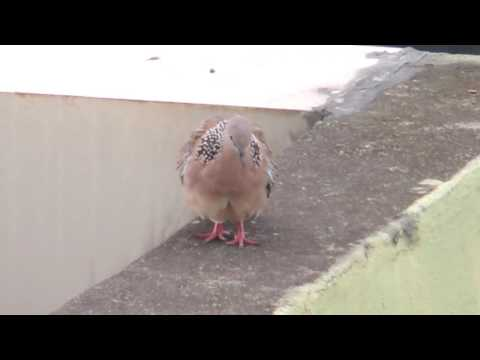 Spotted Dove sings