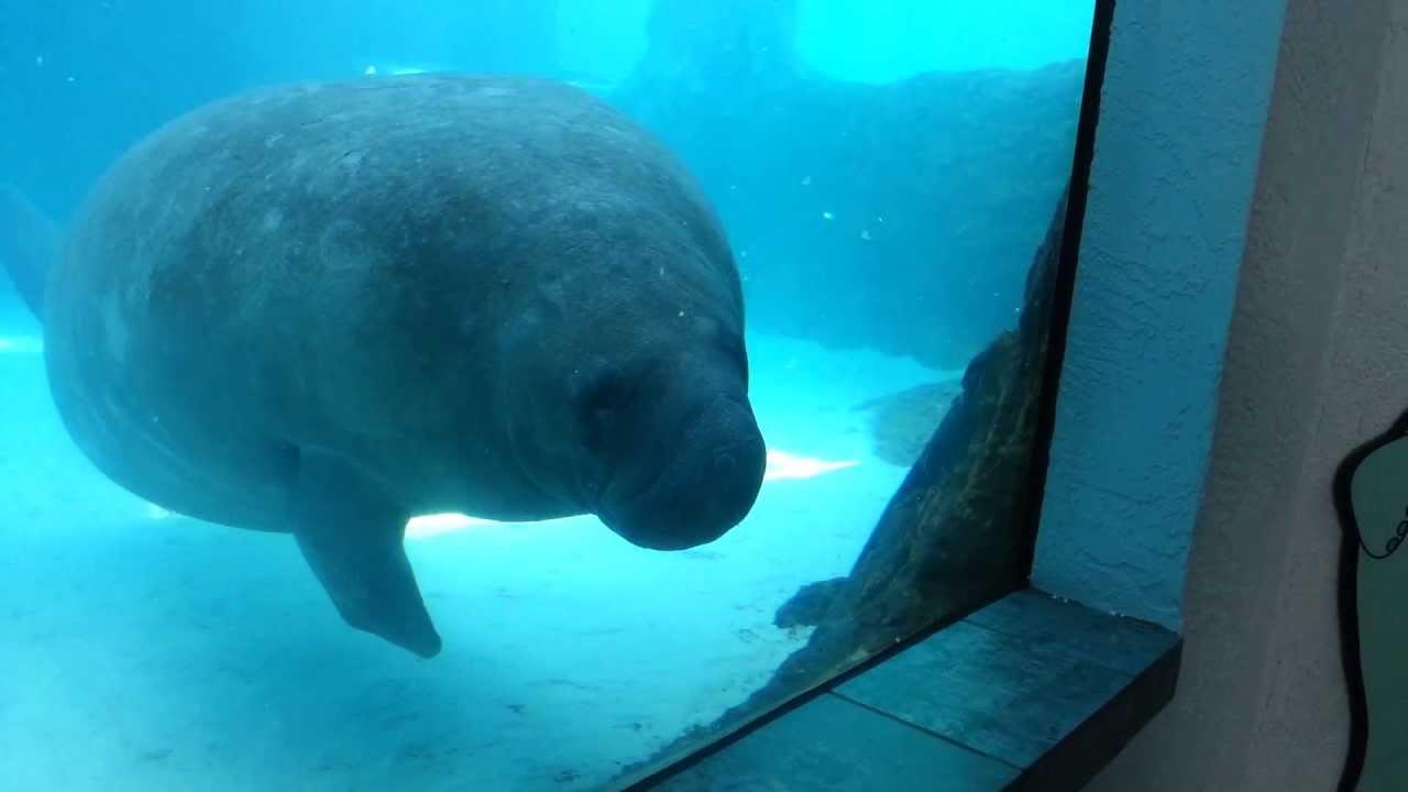 Pug Wallpaper Cute Funny Manatee Runs Into Window Aquarium Youtube