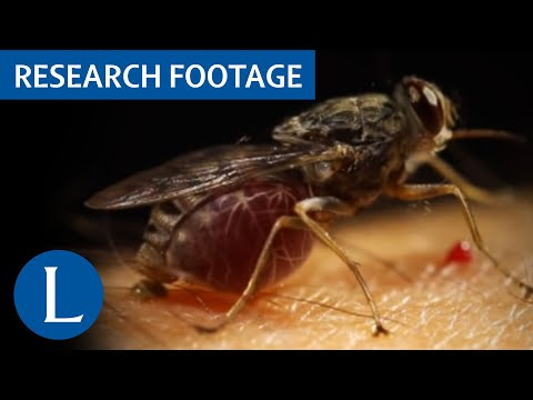 Tsetse fly taking blood meal