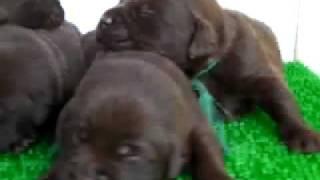 チョコのラブラドールレトリバー子犬兄弟!!<子犬の利根RS>