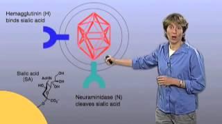 Influenza Virus Infection - Carolyn Bertozzi (Berkeley/HHMI)