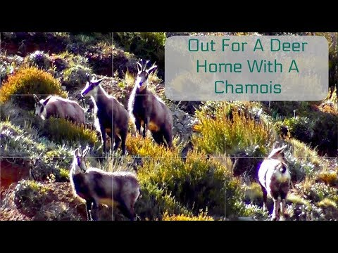 Spring Hunting Cantabury New Zealand First Chamois