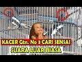 Lomba Kacer Kontes Kacer Di Hebohkan Gantangan No  Buat Sensai Suara Luar Biasa  Mp3 - Mp4 Download