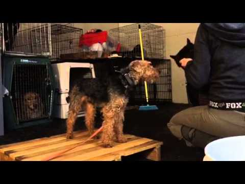 Rusty, 2yr Welsh Terrier, working on his dog aggression in