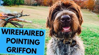 Wirehaired Pointing Griffon - TOP 10 Interesting Facts