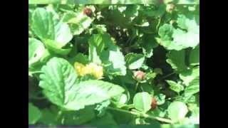 "Wild Strawberry ""indian Strawberry"" Tea"