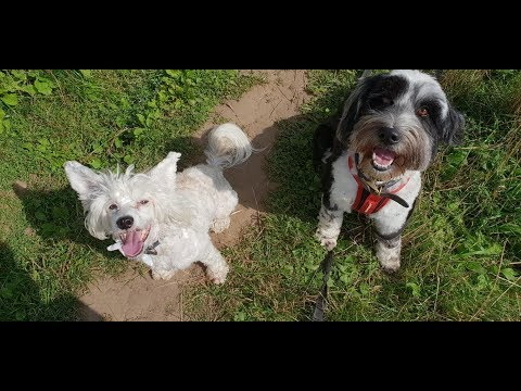 Stella - 2 Year Old Tibetan Terrier - 6 Weeks Residential Dog Training