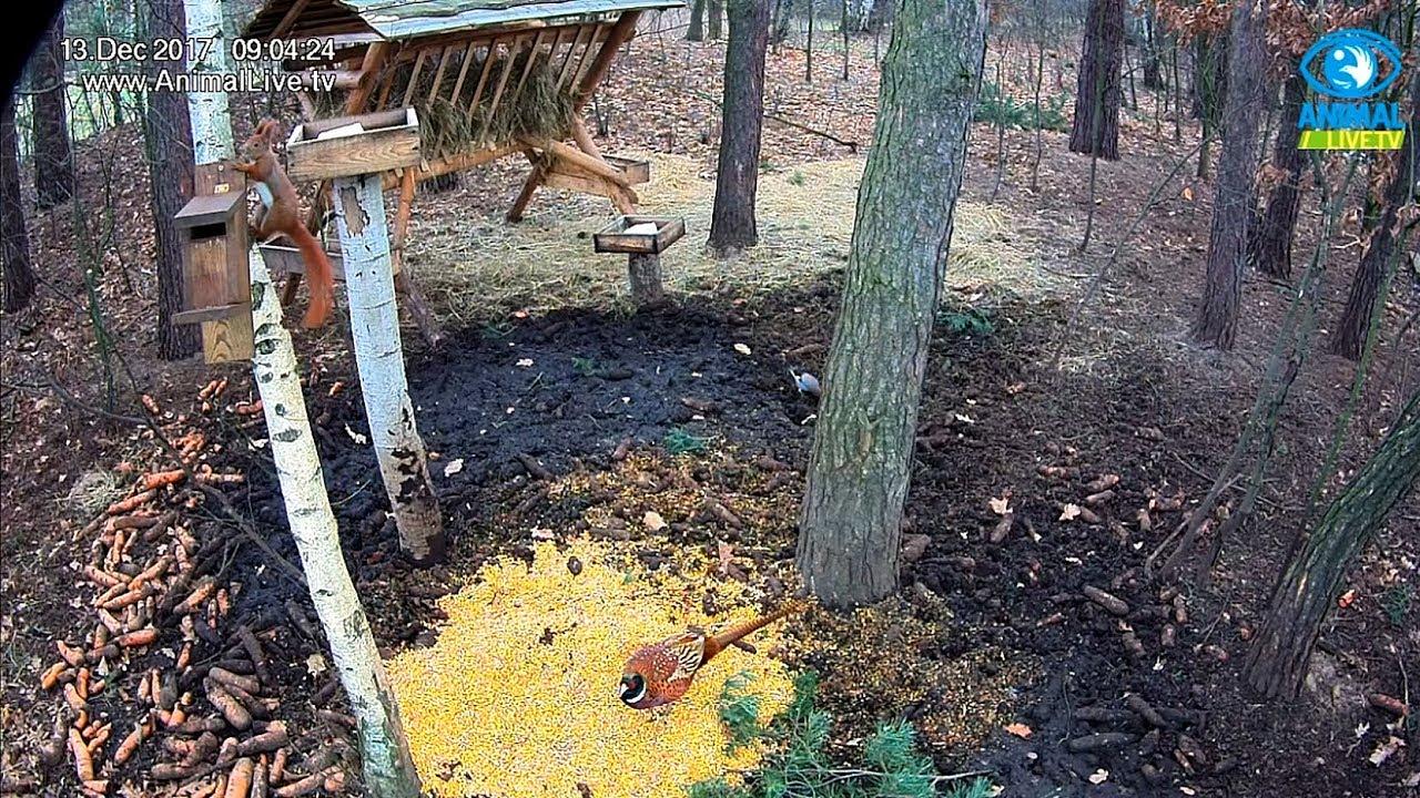 🐓 Bażant, 🐦 sójki i 🐿️ wiewiórki w karmisku w lesie