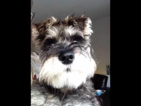 Miniature Schnauzer Making Cute Noises