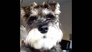 Miniature Schnauzer Cute Noises