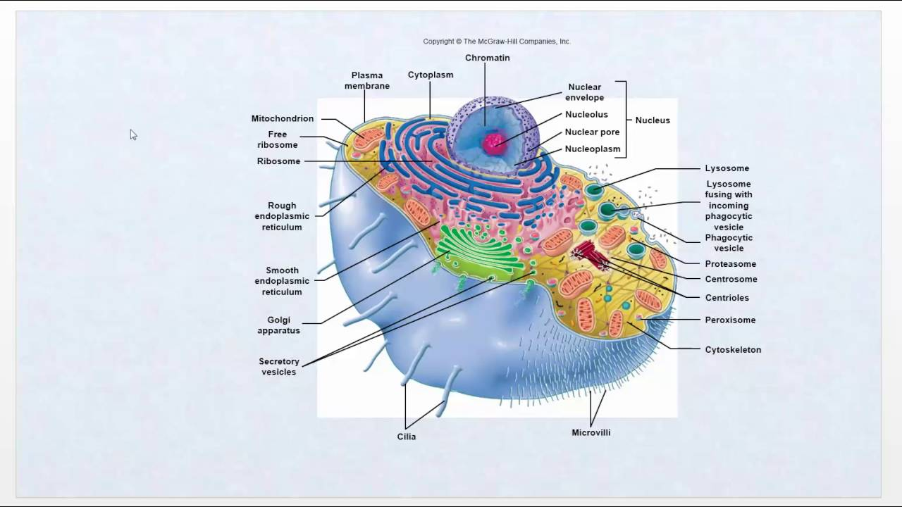 maxresdefault pathophysiology intro video cell function review ch1 youtube