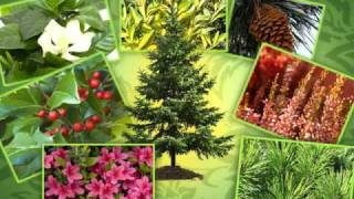 Espoma Evergreen Video - How to grow great evergreens!