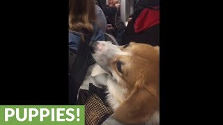 Corgi in backpack rides the subway