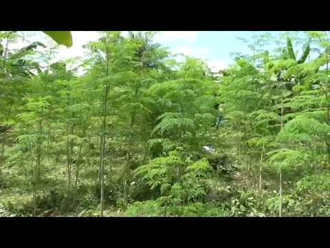 Moringafarm organic Bio Superfood Ghana