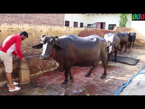 Beautiful Murrah buffalo in Delhi,Village-Jharoda. Milk capacity- 24 kg. Baba Haridass Mandir