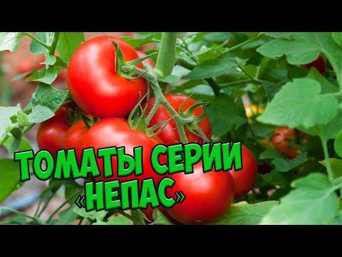 Семена томатов 🍅 Непасынкующиеся томаты серии НЕПАС 🍅 Агрофирма СЕДЕК