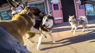 НОВЫЕ ЗНАКОМСТВА БОЛЬШИХ СОБАК / алабай и др собаки