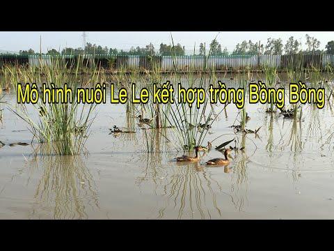 Mô Hình Nuôi Chim Le Le Kết Hợp Trồng Bồng Bồng