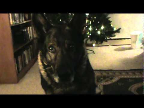 German Shepherd Harro ...