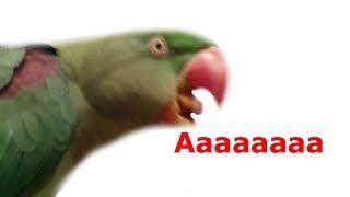 Как заставить замолчать попугая. ГРОМКО КРИЧАТ ПОПУГАИ. УТРО ПТИЦ