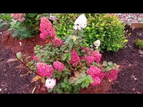✿➽ Гортензия метельчатая  «Sundae Fraise» в нашем саду 2016