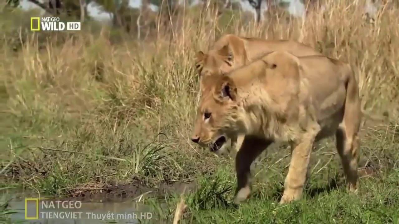 Thế giới động vật - Cuộc chiến sinh tồn của 2 chú Sư Tử con
