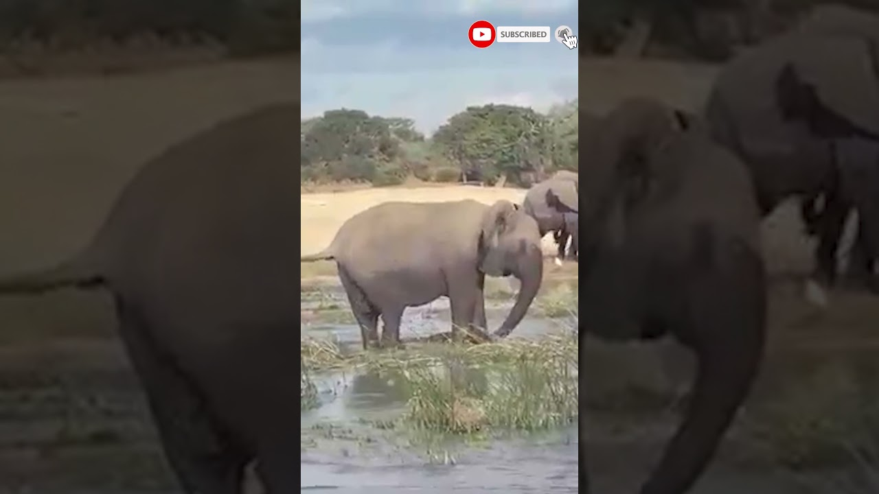 Download crocodile vs elephant fight | CROCODILE VS ELEPHANTS | The Most Exciting Moments In Nature #shorts