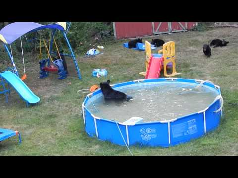 A Bear Family Takes A Dip In Our Pool Part Iii Youtube