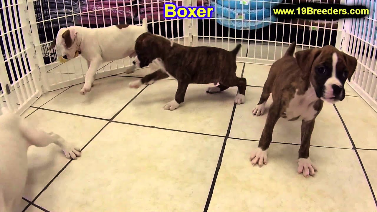 Boxer Puppies For Sale In Green Bay Wisconsin Wi Eau Claire