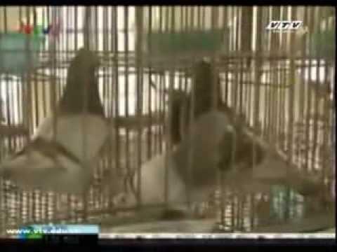 Cách phòng bệnh cho chim bồ câu pháp 68