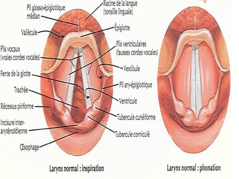 ORL Anatomie du larynx et du pharynx - YouTube
