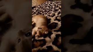 Британская кошка  , золотистая шиншила