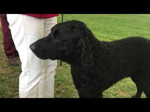Dog Breeds.. Curly Coated Retriever