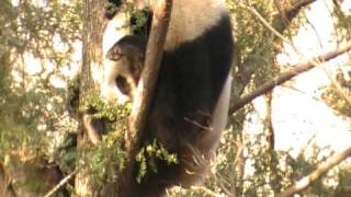 Steppes: Panda in Foping National Nature Reserve, China