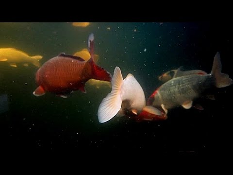 Virtual Fishtank: Dream Koi (Full HD)