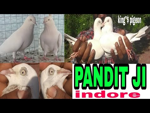 PUNEET BHAI ( PANDIT JI ) KE DESI KABUTAR IN INDORE M.P.