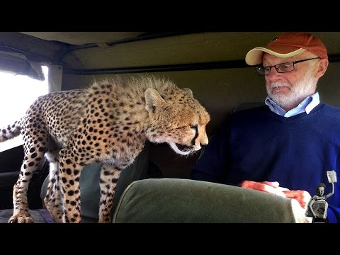 Thumbnail: Watch a cheeky cheetah get face-to-face with a tourist on safari