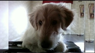 Goldendoodle Dog, A Funny Animal. Videos With Golden Retriever Poodle Mix Ally. Set78 2015